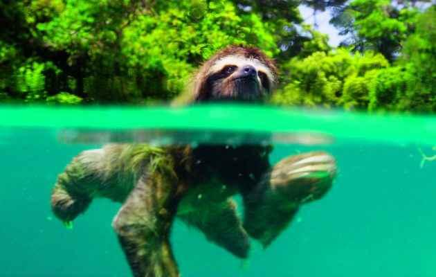 perezoso pigmeo nadando
