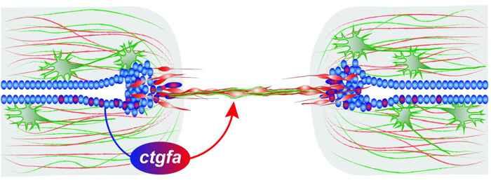 regeneración de la médula en el pez cebra