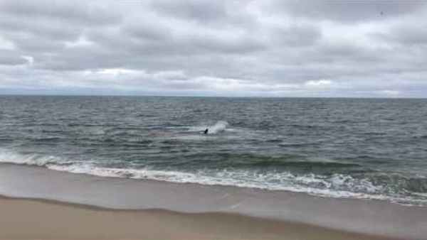 tiburón blanco caza en la orilla
