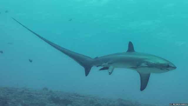 tiburón zorro (Alopias pelagicus)