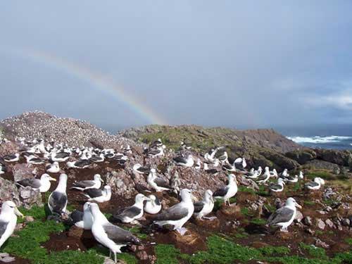 Colonia de albatros de Amsterdam