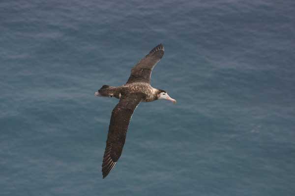 albatros de Amsterdam (Diomedea amsterdamensis)