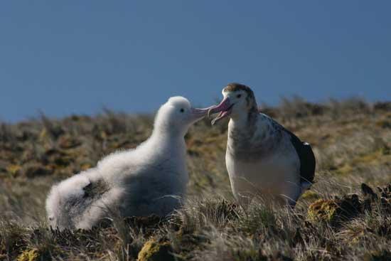 Albatros de Amsterdam y su polluelo