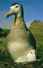 Albatros de Amsterdam con su polluelo