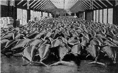 atunes en una lonja de Dinamarca a mediados siglo XX