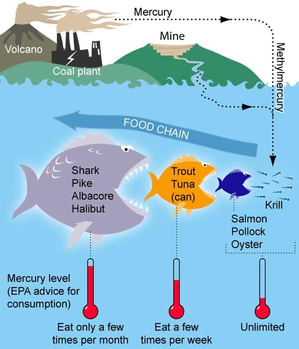 cadena del mercurio en los peces