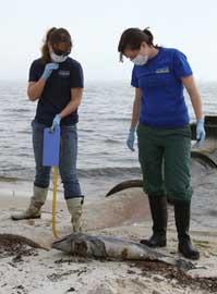 delfín bebé muerto en la costa del golfo de México