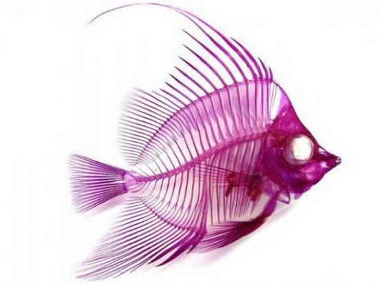 esqueleto de pez transparente de Iori Tomita