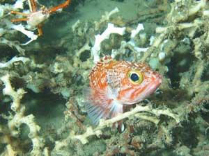 Helicolenus dactylopterus en arrecife de coral