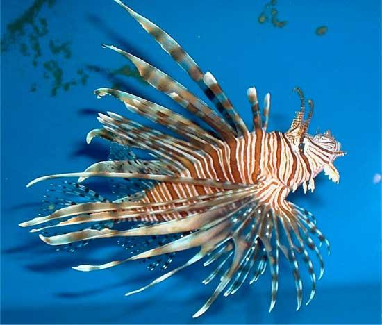 lionfish (pez león)