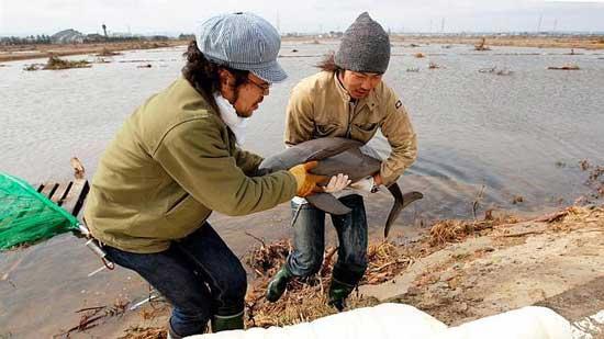 marsopa rescatada de un campo de arroz tras el tsunami de Japón