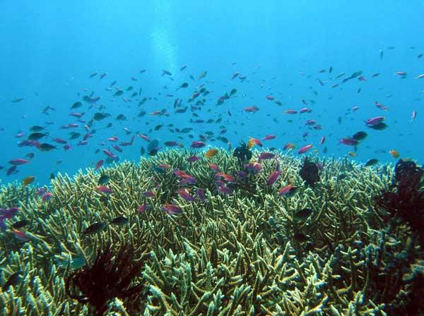 peces herbívoros en un arrecife de coral