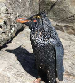 pingüino de penacho amarillo manchado de petróleo