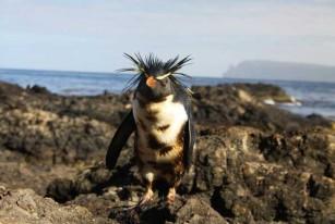 pingüinos de penacho amarillo manchados de petróleo, Isla de Nightingale