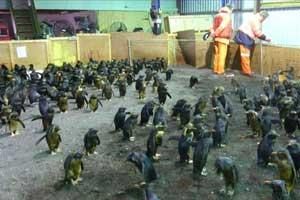 pingüinos rescatados en la Isla Tristan da Cunha
