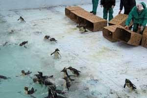 suelta de los pingüinos tras su limpieza