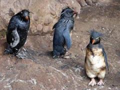 pingüinos de penacho amarillo manchados de petróleo