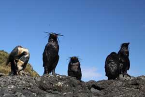 pingüinos de penacho amarillo del Norte manchados de petróleo