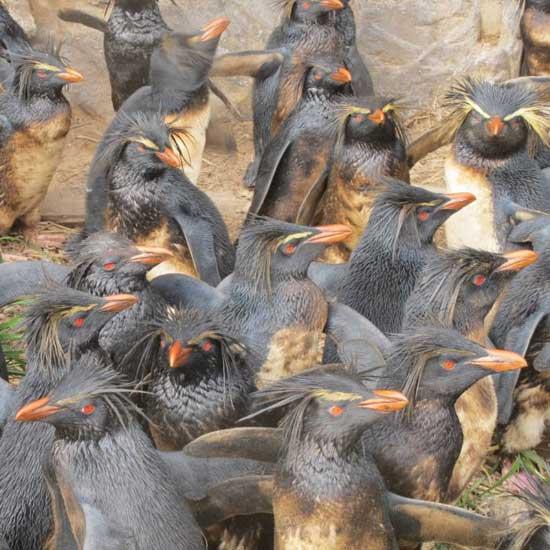 pingüinos de penacho amarillo petroleados