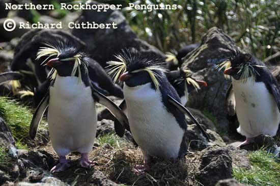 pingüinos de penacho amarillo antes del derrame de petróleo