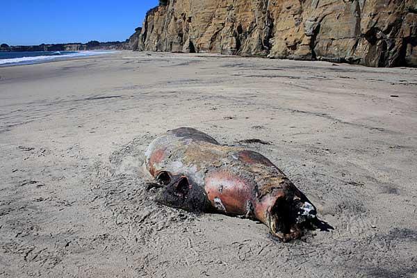 restos de una foca en descomposición