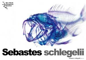 esqueleto coloreado de Sebastes schlegelii