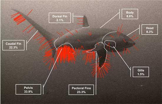 zonas de limpieza en el tiburón zorro pelágico (Alopias pelagicus)