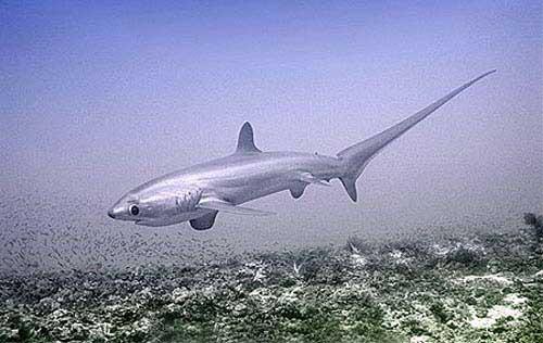 tiburón zorro pelágico (Alopias pelagicus)
