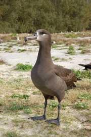 albatros de patas negras (Phoebastria nigripes)