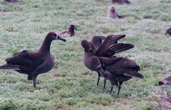 cortejo del albatros de patas negras (Phoebastria nigripes)