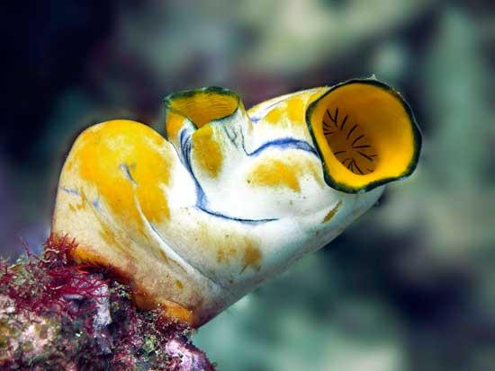ascidia (Polycarpa aurata)