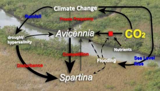 avicenia y spartina entran en competición, aumento del nivel del mar