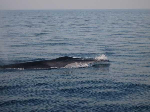 avistamiento ballena en aguas de Castellón