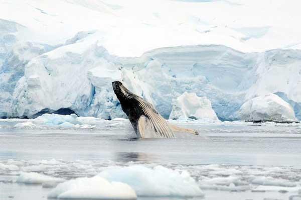 ballena salta en la Antártida frente a un muro de hielo
