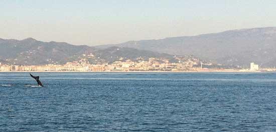 avistamiento de ballena gris en la costa de Liguria, Italia