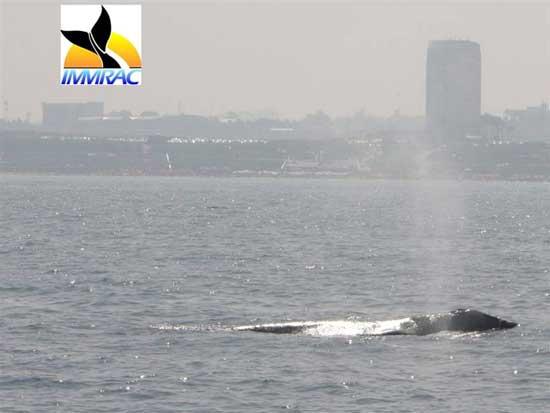 avistamiento de ballena gris en Israel en 2010