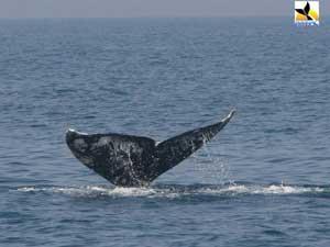 avistamiento de ballena gris en Israel
