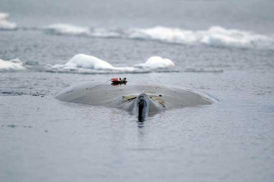 ballena jorobada marcada en la Antártida