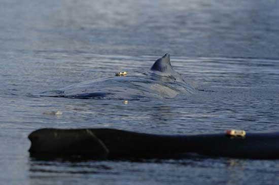 ballenas marcadas para su seguimiento