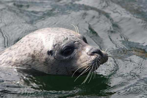 bigotes de una foca