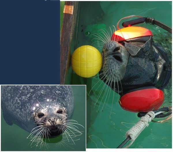 bigotes sensibles en las focas, auriculares y venda