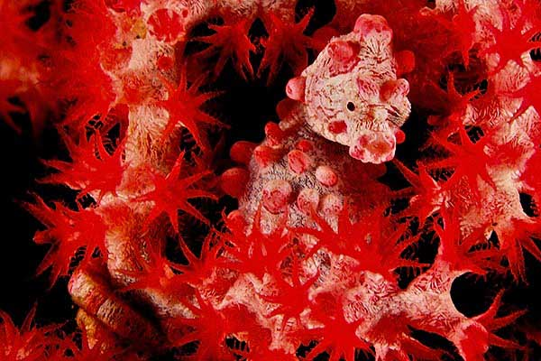 caballito de mar pigmeo (Hippocampus bargibanti)