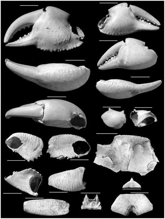 fósil de cangrejo Geograpsus severnsi (holotipo macho)