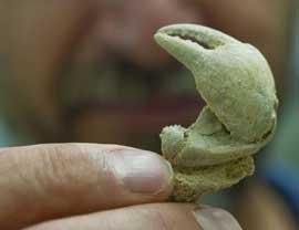 cangrejo Geograpsus severnsi, pinza fósil