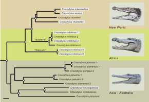 cocodrilos nadaron por el Atlántico