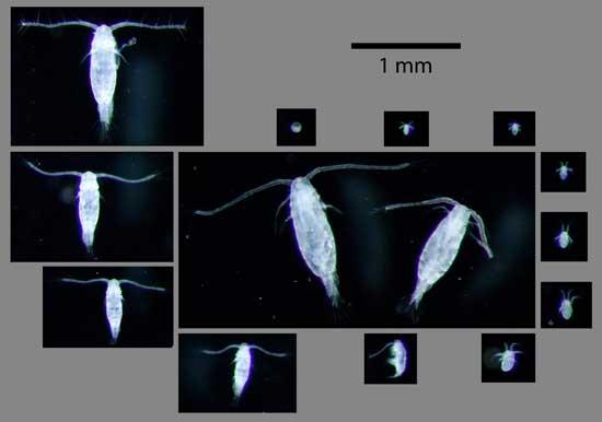 copépodo Acartia tonsa