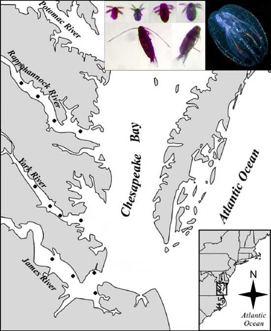 muestreo de copépodos en la bahía de Chesapeake