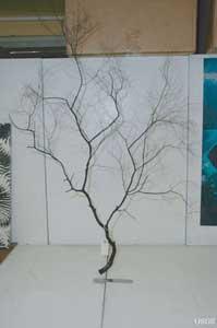 coral negro género Antipatharia