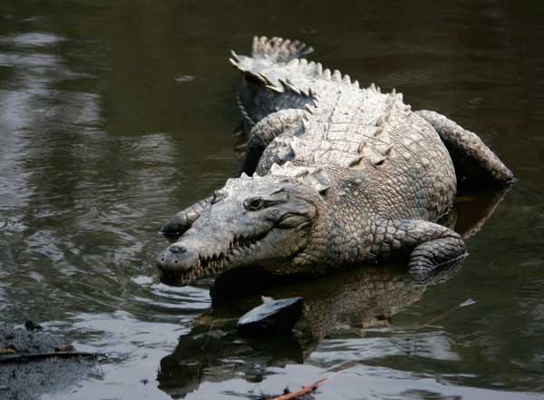 Crocodylus acutus, México