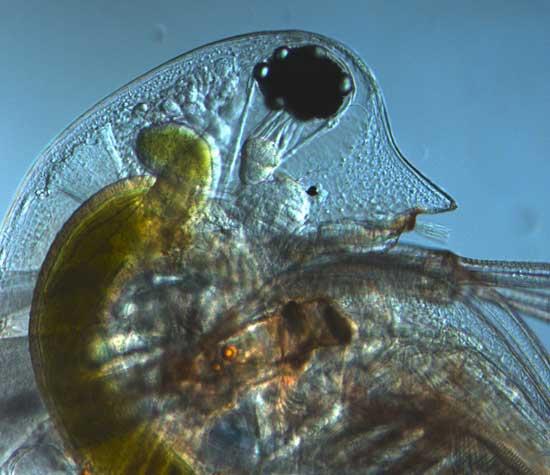 Daphnia pulex (pulga de agua)